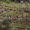 Es senyalitza la ruta dels cirerers en flor de Sant Climent