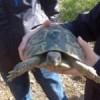 Alliberats 300 exemplars de tortugues mediterrànies al Parc del Garraf