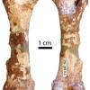 Identificat el primer fòssil de pangolí a la península Ibèrica al Papiol