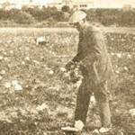 roses stfe 1930